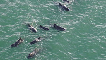 Stranded pilot whales not found, teams called off