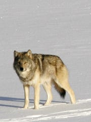 A gray wolf on Isle Royale National Park in northern