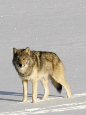 A gray wolf on Isle Royale National Park in northern Michigan.