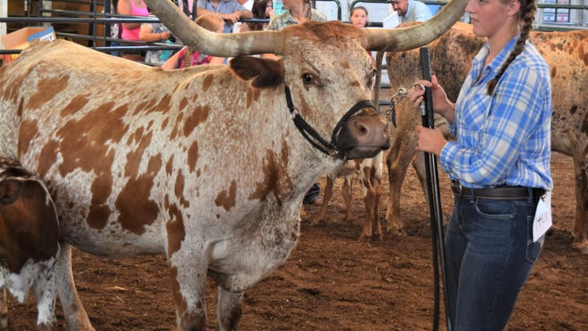 Jocelynn Woods of Homeworth and her champion Texas Longhorn heifer Candy Cane Crystal enjoy their moment in the showring where the cow was named champion in the haltered class.