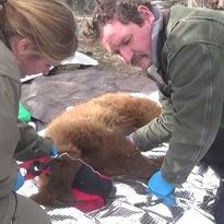 Photos: Bear cubs released in Tahoe backcountry