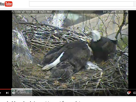 Eagle cam shows eagles feeding cat to young