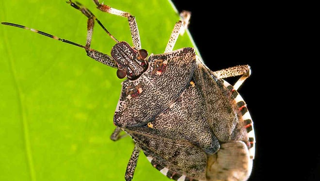 The brown marmorated stink bug is an exotic/invasive home invader and crop pest.
