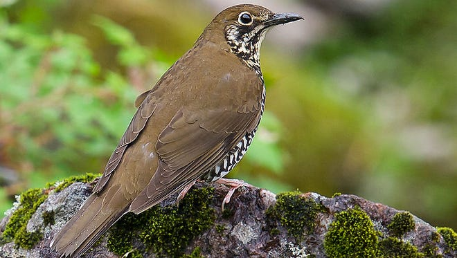 The Himalayan forest thrush.