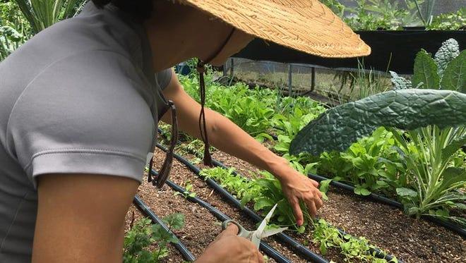 Fotografía cedida por la Compañía de Turismo de Puerto Rico, que muestra los cultivos de la Hacienda Plenitud, ubicada en el municipio de Las Marías (Puerto Rico).