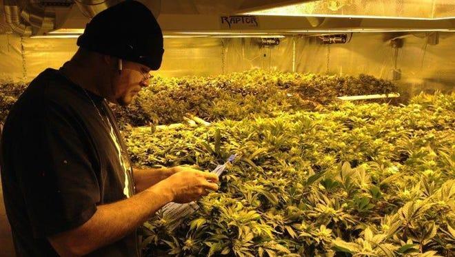 Paradójicamente, la Agencia Federal Antidrogas (DEA) busca quién cultive marihuana, pero encontrar candidatos para este millonario contrato público de investigación es bien complicado dado que esta sustancia sigue siendo ilegal a nivel federal.
