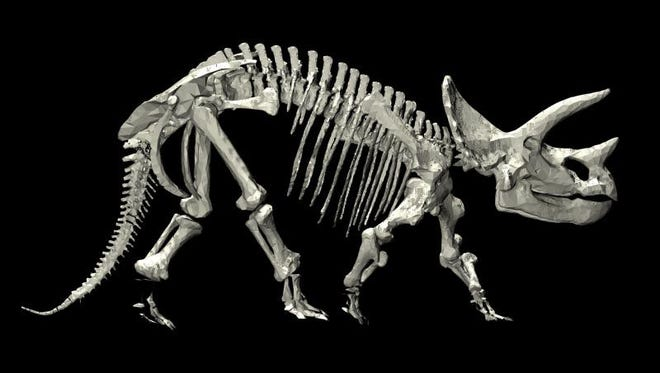 """A composite of """"Hatcher"""" the Triceratops at the Smithsonian Institution. A new study shakes up the dinosaur family tree"""
