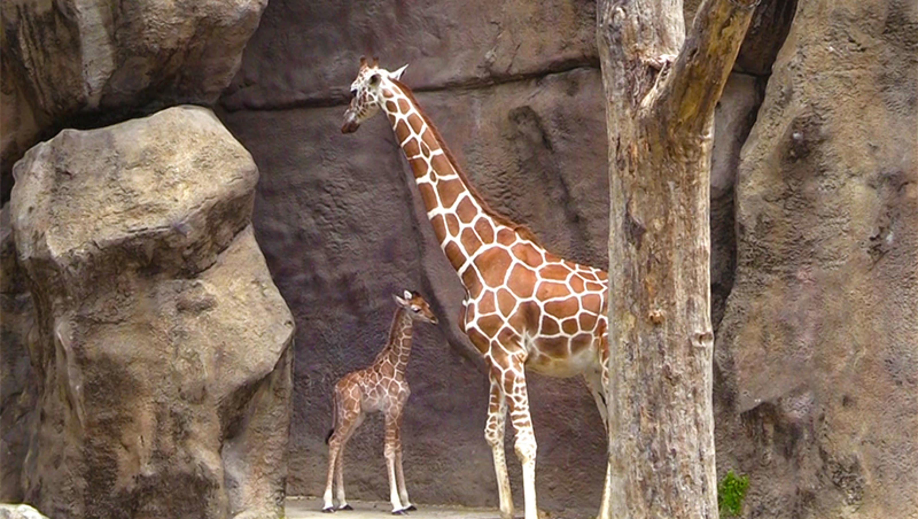 Baby Giraffe Born At Philadelphia Zoo
