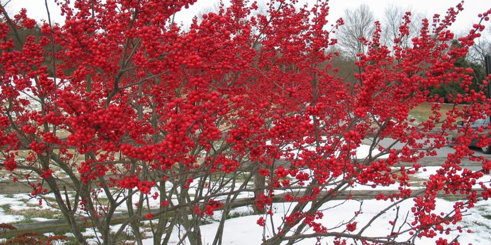 Red Berries Of Winter Glow Against Snow