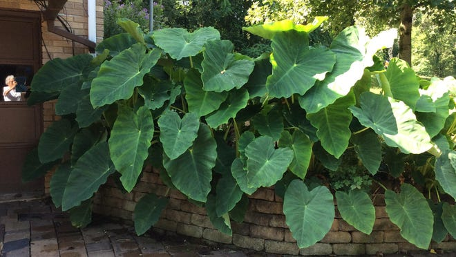 Gilmore Bennett sent in this photo of Elephant Ears at his Tabor Ridge Road NE, New Philadelphia. Have you taken a nature photo you'd like to share with our readers? Send a .jpg image to hank.keathley@TimesReporter.com. Make sure you include information on who took the photo and where it was taken for caption information.