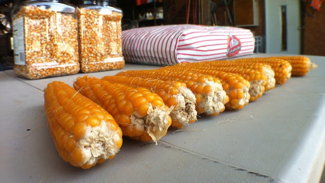 Orville Redenbacher brand popcorn -- on the husk, bagged and ready for popping - at the Frankfort farm of corn farmer Clark Beard.