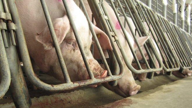 Female breeding pigs in gestation crates in Waverly, Va., in 2012.
