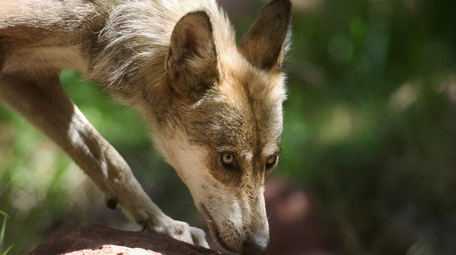 A proposed federal rule would retain a death penalty for wolves that kill livestock and impose a new capital offense for eating too many deer, elk and other wild ungulates.