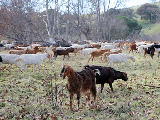 There are about 1,500 goats at Fort Ord National Monument being used for annual fuel mitigation.