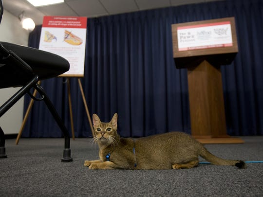 A cat named Rubio rests in front of the podium before a news conference on Tuesday in Albany, N.Y. New York would be the first state to ban the declawing of cats under a legislative proposal that has divided veterinarians.