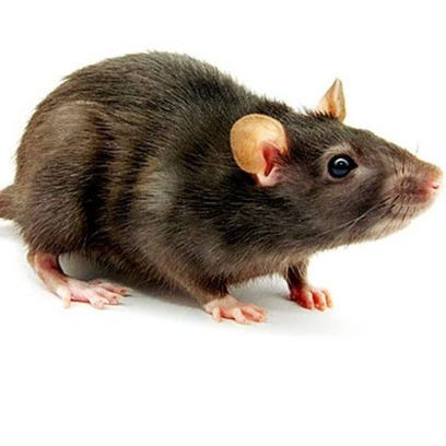 Rats with hantavirus will appear healthy. People can