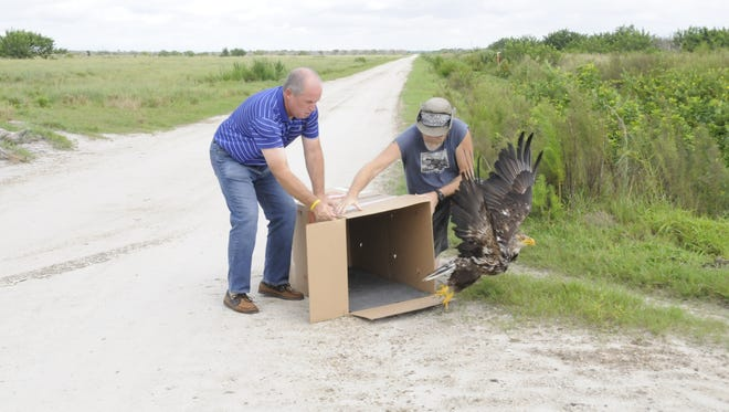 Martin County Commissioner-elect, Ed Ciampi and Treasure Coast Wildlife Center Director of Education Tim Brown release a rehabilitated bald eagle back into the wild.