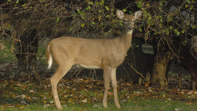 A herd of deer in Montclair's Rosedale Cemetery, feeding on the landscaping, are frequent visitors, according to one landscaper.