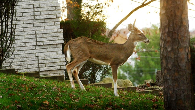 A wild deer on the lawn of an Alicia Court and Lynwood Drive home in Cedar Grove.