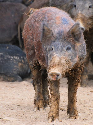 Feral Swine are not native to the U.S. They are the result of recent and historical (1500's Spanish explorers) releases of domestic swine and Eurasian boar.