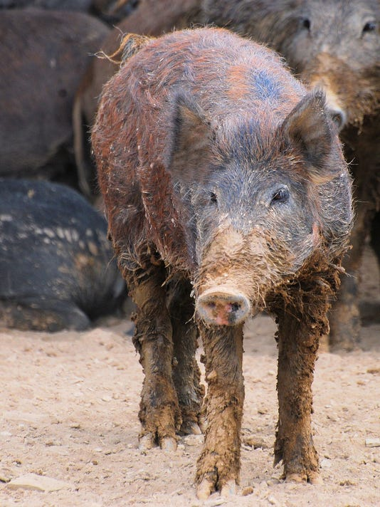 feral swine are not native to the us they are the result of recent and historical 1500s spanish explorers releases of domestic swine and eurasian boar