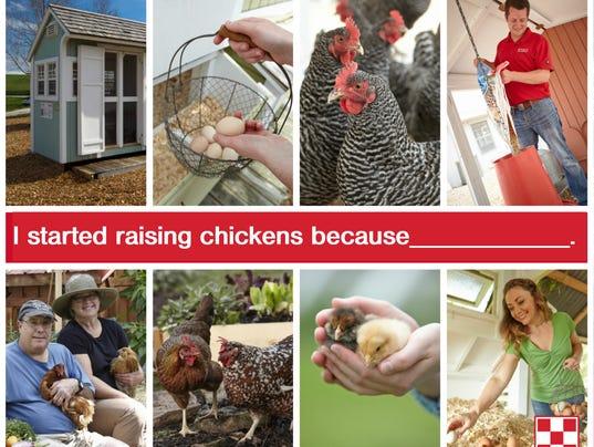 Chicken survey