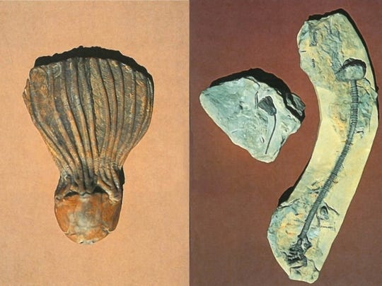 "Often called ""sea lilies,"" crinoids are actually animals related to starfish, according to University of Iowa experts. On the left is a 350 million-year-old (Mississippian) specimen from Marshall County shows the arms, which in life would filter sea water for food particles. Crinoids lived anchored to the sea floor by flexible, rooted stems. Segments of the rounded stems are commonly found as fossils. Famous localities in Iowa include the LeGrand and Burlington areas."