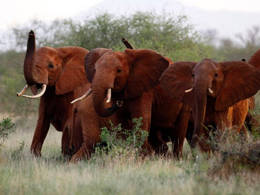 AP TRUMP ELEPHANT TROPHIES I FILE KEN