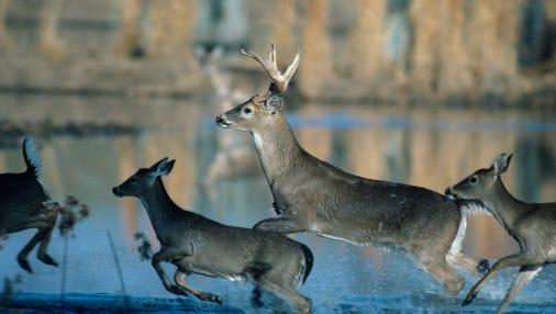Herd of whitetail deer running through water