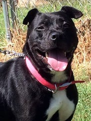 Faith is a 3-year-old, 40-pound, spayed-female Labrador
