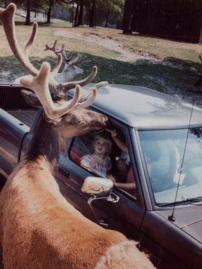 1994: A North American Elk breaks park rules and sneaks a cracker from a safari visitor.
