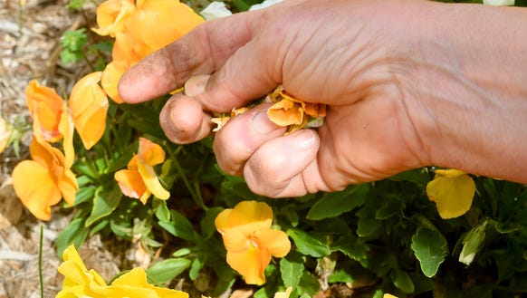 The hands of horticulture assistant Terry Bonner of