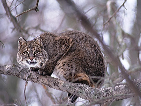 A bobcat sits in a tree.