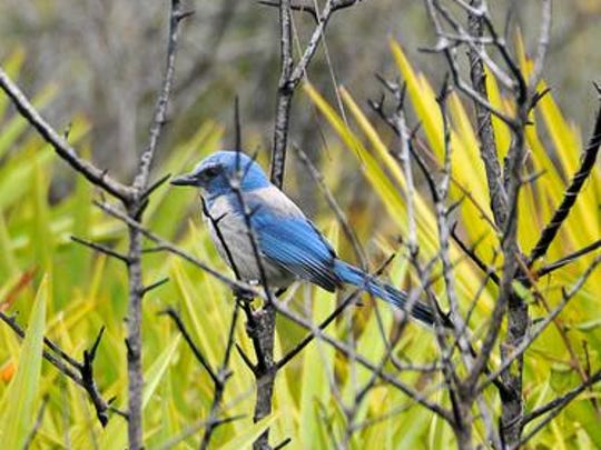 Scrub jay: Among federally threatened species, the