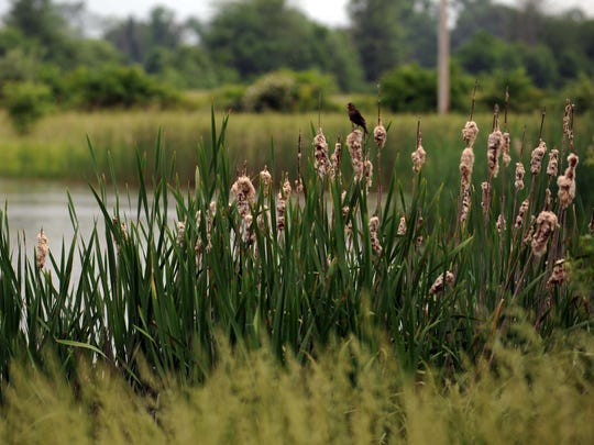 A bird sits next to a wetland at Coyote Run Farm Wednesday, May 30, 2018, in Violet Townsihp.
