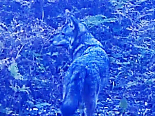 isle-royale-wolf-120417