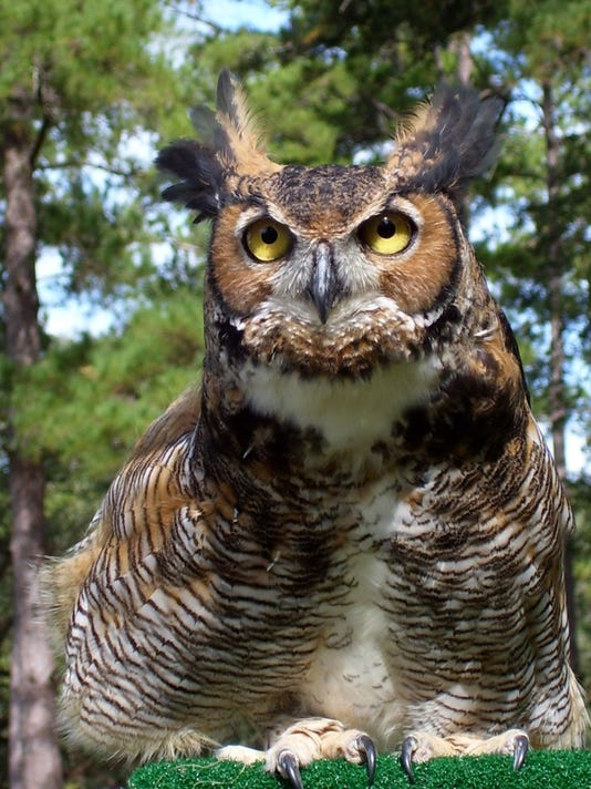 635832251557632466-Great-Horned-Owl---Photo-by-Sandy-Beck
