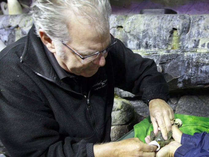 Veterinarian Peter Hill wipes clean a King penguin chicks born at the  Newport Aquarium. Veterinarians and biologists were checking their weight and other signs that they are in good health.