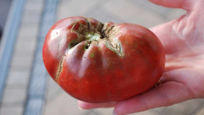 Cherokee Purple is a century-old beefsteak heirloom tomato that was originally cultivated by Cherokee Indians.