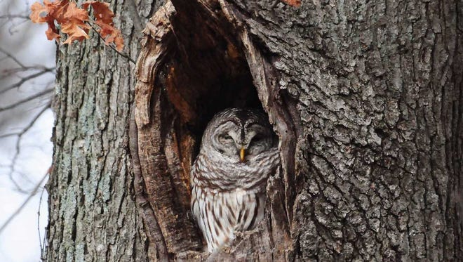 During the solar eclipse, nocturnal creatures like barred owls may leave their day roosts and begin nighttime foraging.