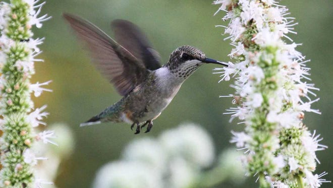 Hummingbirds forage among flowers of all shapes and colors, including white-flowering hyssop; and so realistic artificial arrangements lure them, too--to the birds' detriment.