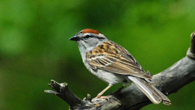 Chipping Sparrows--sweet-singing, handsome, trim and petite--fall at the bottom of the pecking order.