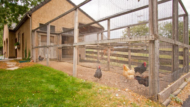 Rooster Gwen and his hens in their chicken coop kingdom.