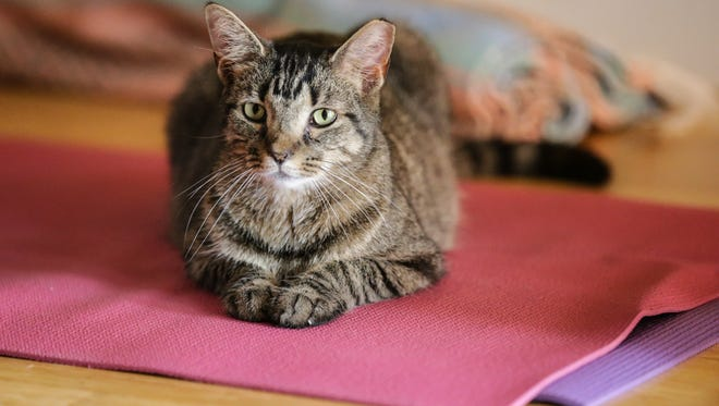 Shadow, a cat up of adoption, sits on a mat during Irvington Wellness Center's first Cats on Mats cat-infused yoga class, April 22, 2017. Cats from classes are available for adoption from Kitty Castaways Rescue, and proceeds from the class benefit the rescue.