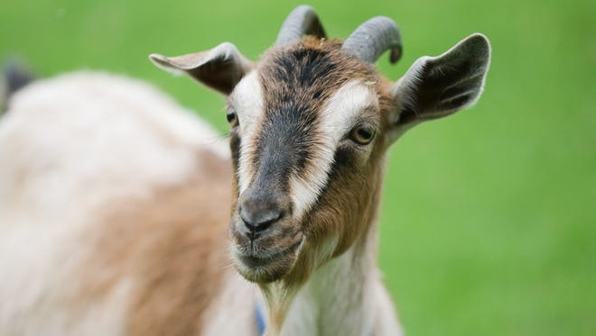 A goat has exposed four people to rabies in Pickens County, according to the Department of Health and Environmental Control. Pictured is a goat unrelated to this story.