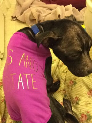 A 2-year-old pit-bull-terrier mix was dumped out of a large SUV on Sept. 9 at about 12:45 p.m. just south of North Avenue on Barker Road in Brookfield.  The dog, named Gracie was brought to Elmbrook Humane Society.