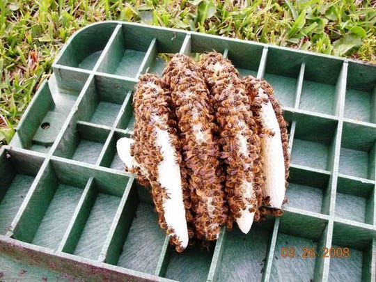 An Africanized Honey Bee hive in an irrigation valve box.