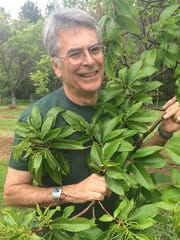 Dennis Fulbright with a chestnut tree. He has worked for decades to help develop Michigan's chestnut industry.