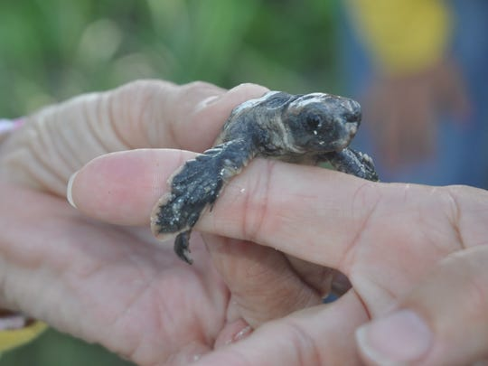 Turtle Time volunteers check the front flipper of a hatchling they saved at Bonita Beach.