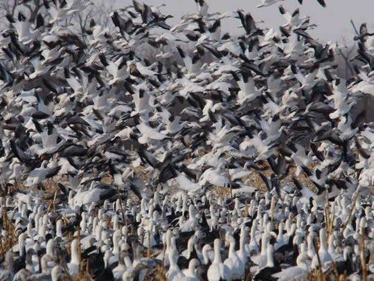 A flock of snow geese at Grand Pass Conservation Area